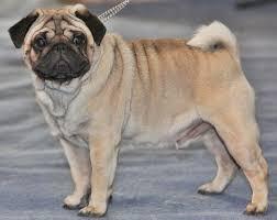 Best Dogs For Seniors - Pug