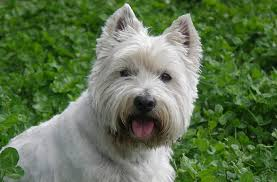 Dogs For Seniors - Westies